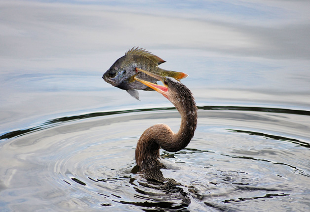 a bird catching a fish in its beek